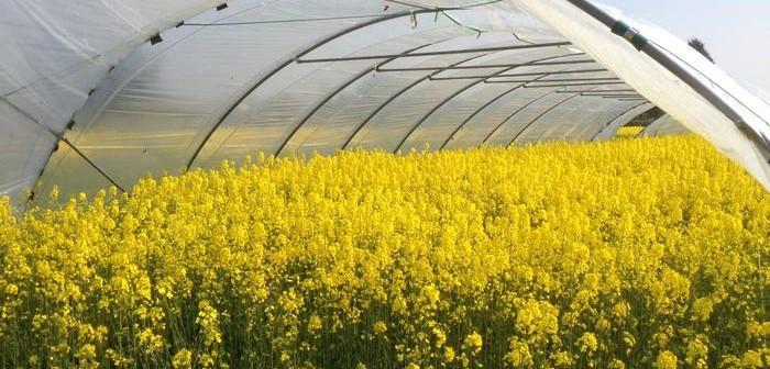 Harper Adams researching ways to waterproof oilseed rape