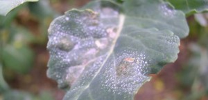 light-leaf-spot-9