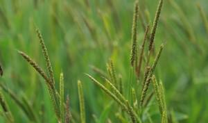 Blackgrass-original-standard
