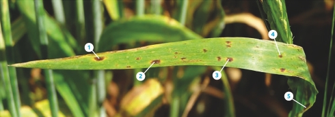 Ramularia much easier to spot, thanks to new AHDB guidance