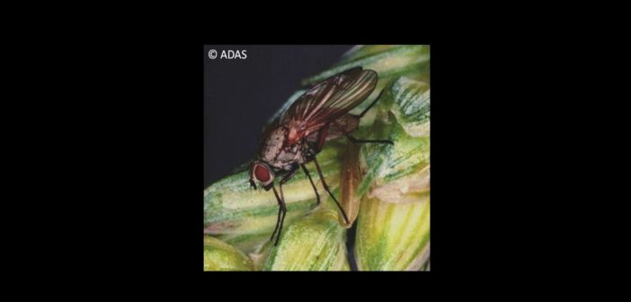 Wheat bulb fly pressure stays low in 2018