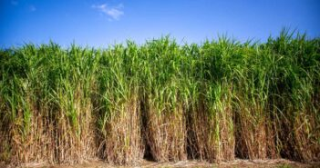 Long-term secure returns and reduced risk with Miscanthus